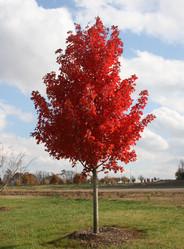 华石红枫夕阳红大树D10CM